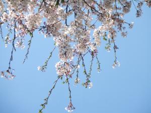 茨城県,菜の花,花見,ピクニック